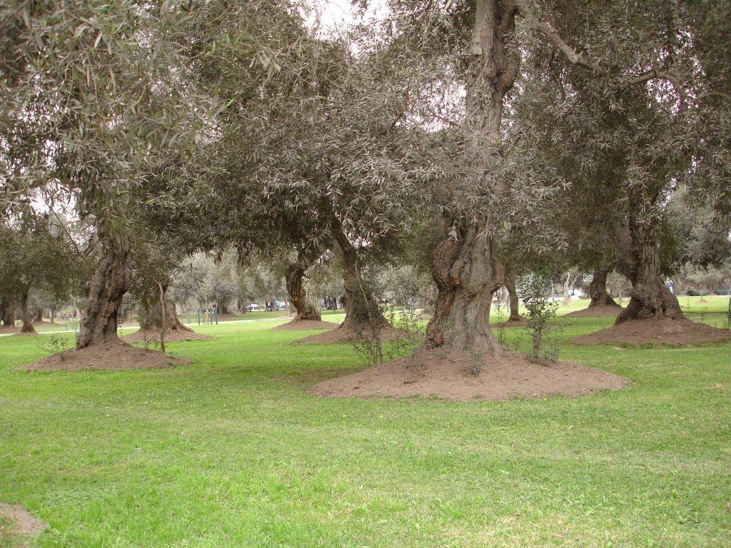 Bosque das Oliveiras (Foto: Eliane Barbosa)