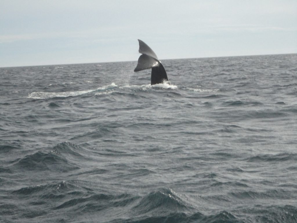 A baleia franca dá à luz suas crias na Patagônia e no inverno procura águas mais quentes na costa do Brasil.