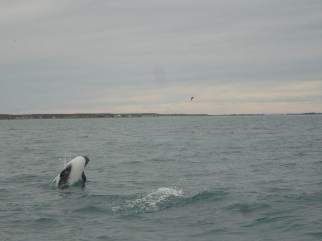 """O golfinho overa, chamado de """"panda do mar"""", nada próximo às embarcações"""